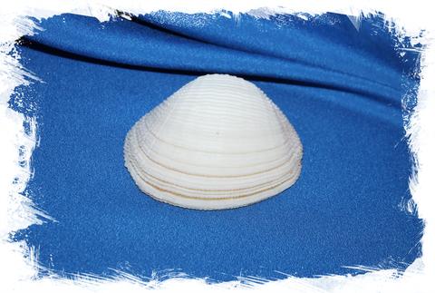 Люцина корзинка (Fimbria fimbriata), 1 створка