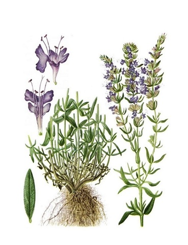 Иссоп лекарственный (Hyssopus officinalis)