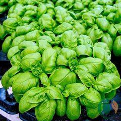 Cемена базилика овощного Эмили,  Enza Zaden, 0,5 гр.