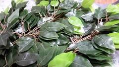 Листья фикуса на ветке 63 см.