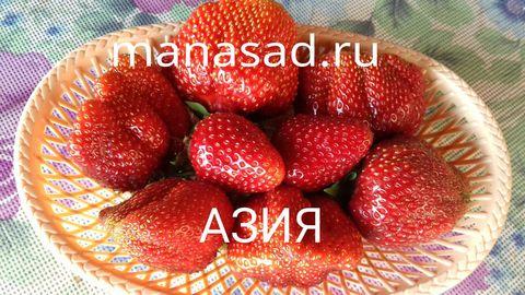 Итальянская красавица -земляника(клубника) садовая Азия.
