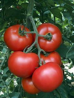 Томат Алмеида F1 семена томата индетерминантного (Vilmorin / Вильморин) АЛМЕИДА_F1__V401F1__семена_овощей_оптом.jpg