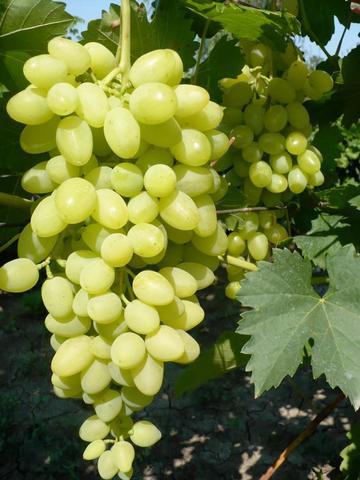 Виноград культурный Долгожданный (в тубе)