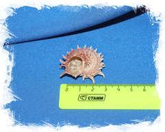 Ангария Поупа (Angaria poppei) размер