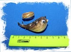 Рыба Попугай 5 - 7 см