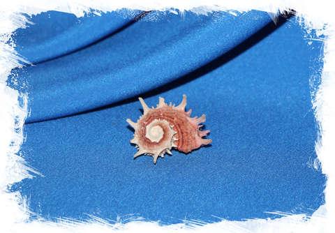 Ангария Поупа (Angaria poppei) светлая 3 см.