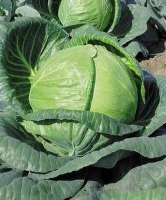 Тобия F1 семена капусты белокочанной (Seminis / Семинис) Тобия_F1__Tobia_.jpg