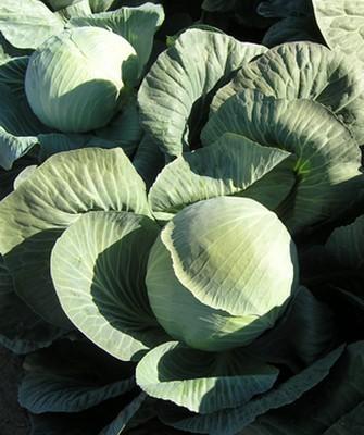 Белокочанная Фундакси F1 семена капусты белокочанной (Seminis / Семинис) Фундакси_F1__Fundaxy_F1_.JPG