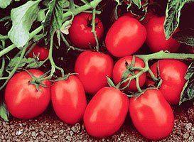 Томат Чибли F1 семена томата процессингового (Syngenta / Сингента) Чибли_F1_семена_овощей_оптом.jpg