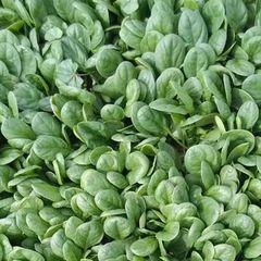 Акадия F1 семена шпината (Enza Zaden / Энза Заден)