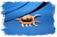 Ламбис скорпиус, Lambis scorpius купить