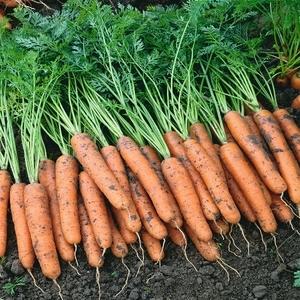 Нантская Ниагара F1 семена моркови нантской (Bejo / Бейо) Морковь_Ниагара.jpg