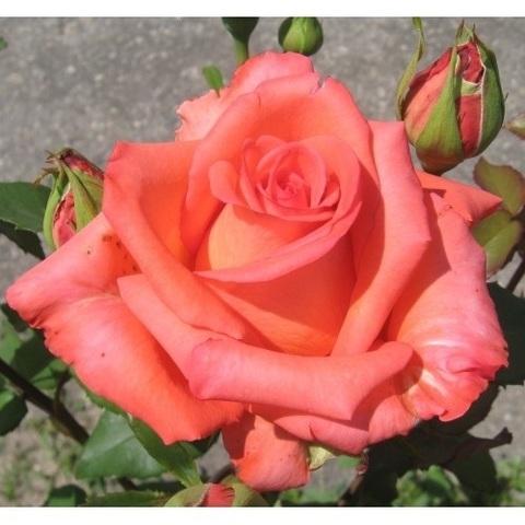 Роза чайно-гибридная Импульс (в тубе)