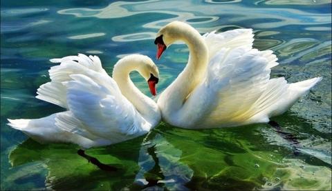 Картина раскраска по номерам 30x40 Лебеди на кувшинке