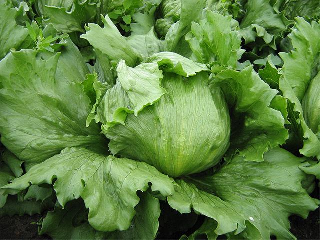 Каталог Фарито семена салата айсберг (Enza Zaden / Энза Заден) фарито.jpg