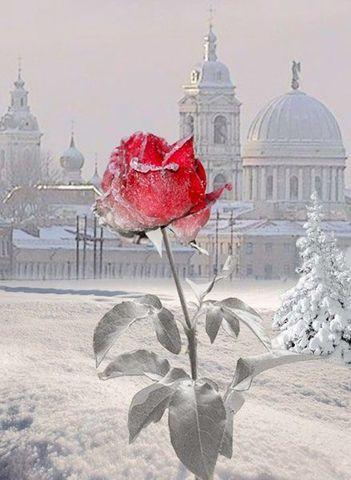 Картина раскраска по номерам 30x40 Зимняя красная роза