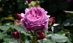 Rose Thelma