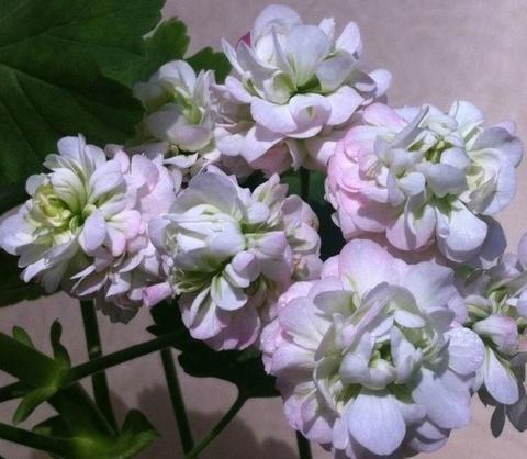 Розебудные (Розоцветные)