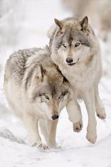 Картина раскраска по номерам 30x40 Волк с волчицей