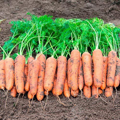 Новинки Семена моркови Ромоса, Bejo, 1 гр. Ромоса111.jpg
