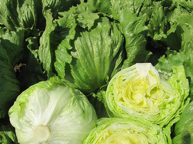 Каталог Эльмундо семена салата айсберг (Enza Zaden / Энза Заден) эльмундо.jpg