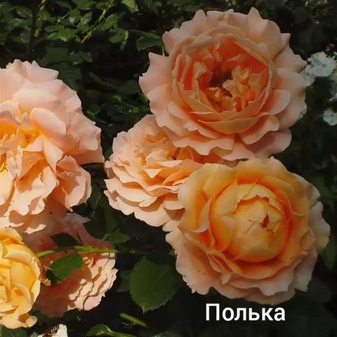 Роза плетистая Полька С3