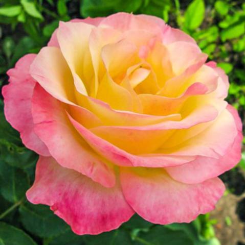 Роза чайно-гибридная Глория Дей С6