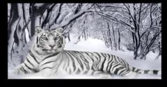 "Постер ""Белый тигр"""