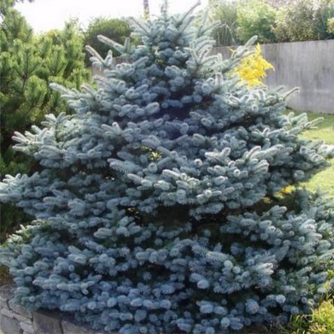 Ель колючая (голубая) Костер C45 120-140