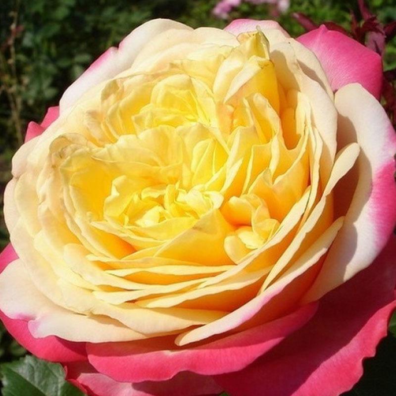Роза чайно-гибридная Кордес Юбилее