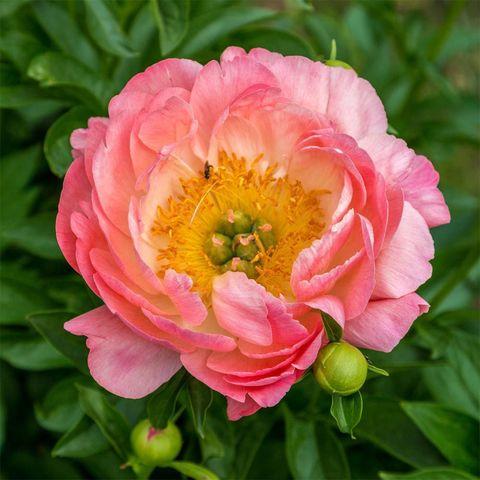 Пион молочноцветковый Пинк Гавайян Корал (С3)