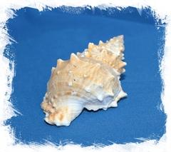 Бурса Лиссостома 12-15 см
