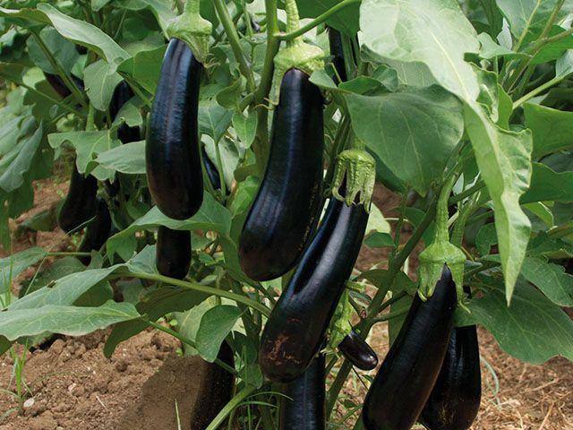 Баклажан Мабел F1 семена баклажана (Enza Zaden / Энза Заден) Мабел_F_семена_овощей_оптом.jpeg