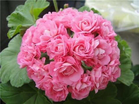 Пеларгония Australien Pink Rosebud