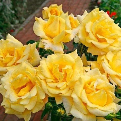 Роза чайно-гибридная Беролина С6
