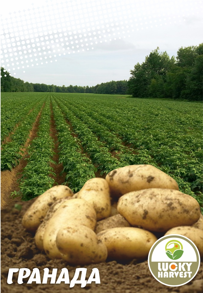 Семенной картофель ГРАНАДА   ТМ LUCKY HARVEST