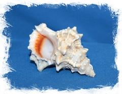 Морская ракушка Бурса Лиссостома 8-12 см