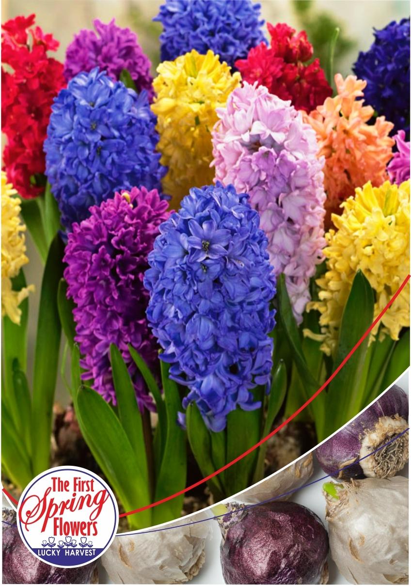 Гиацинт крупноцветковый  Color Mix (Колор Микс) TM Jan de Wit en Zonen B.V. (количество в упаковке 3 луковицы)
