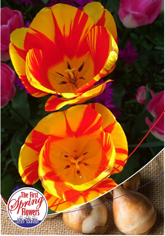 Луковицы Тюльпана Триумф  Washington (Вашингтон) TM Jan de Wit en Zonen B.V. (количество в упаковке 3 луковицы)