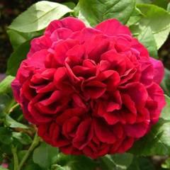 Заказать Роза плетистая Дарк Леди