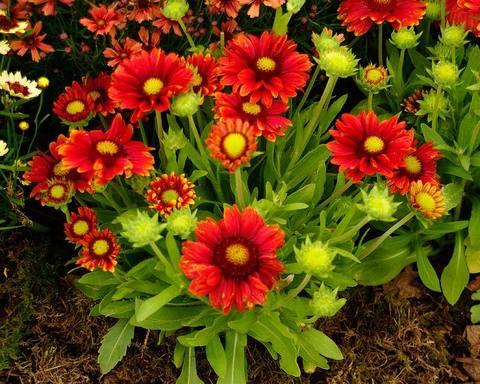 Гайлардия остистая Аризона red shades С2