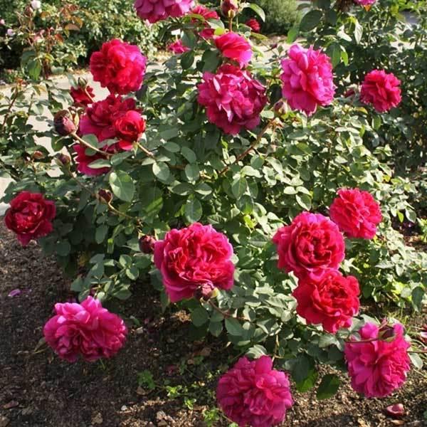 Роза плетистая Дарк Леди Северный огород