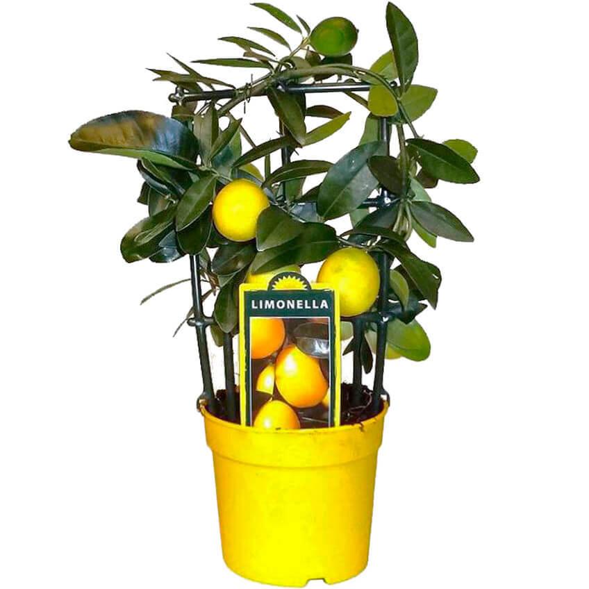 Цитрофортунелла Лимон на решетке D14 H45