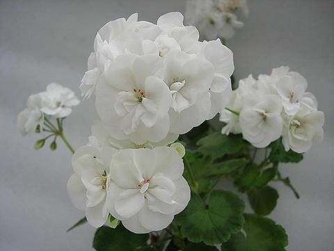 Пеларгония Albina