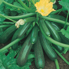 Диамант F1 семена кабачка (Seminis / Семинис)