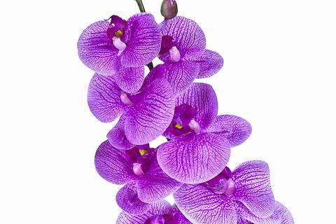 Фаленопсис (темно-фиолетовый)