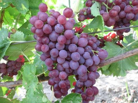 Виноград плодовый Памяти Учителя (в тубе)
