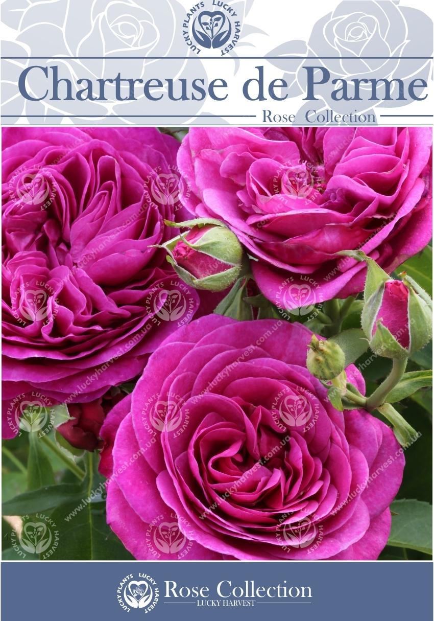 Троянда Чайно-Гібридна  Густомахрова