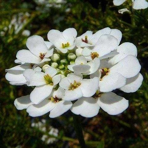 Иберис вечнозеленый Snowflake