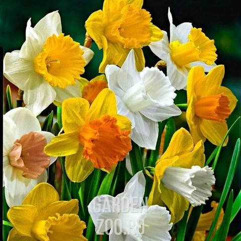Луковичные Нарцисс крупнокорончатый смесь, 5 шт
